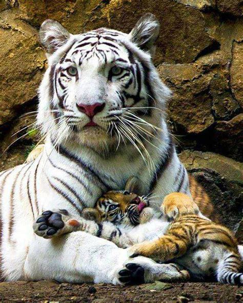 Tiger with cubs on its paws   LuvBat