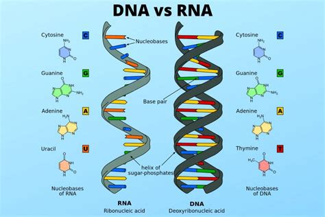 DNA vs RNA - Similarities and Differences