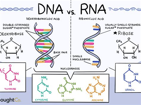 Section 12 1 Dna What Is The Makeup Of A Nucleotide