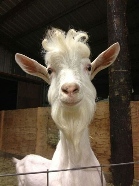 Billy Goat Will Funny Beard and Hairstyle   LuvBat